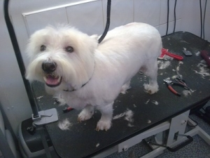 Harry The Westie - After